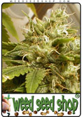 Semillas del Snow White cannabis
